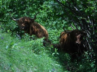 Highland cattle 03 by BaalSoulslayer