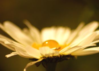 Daisy by LucAnthonyRossiter