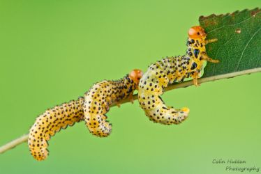 Sawfly larvae by ColinHuttonPhoto