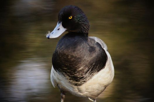 Greater Scaup by Chezhnian