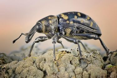 WEEVIL by ELKAPL