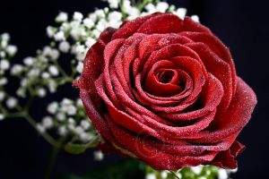 Just a Rose by eyedesign