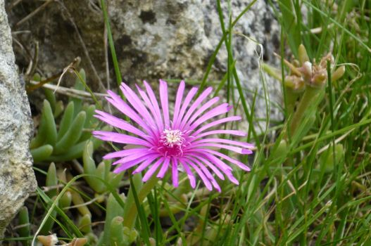 pink blue flower 2 by nicolapin