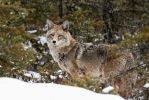 Coyote - Northern Forests2 by JestePhotography