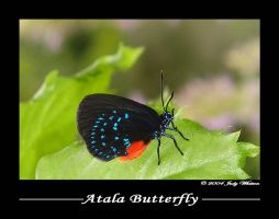 Atala Butterfly by Tazzy-