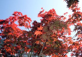 japanese maple 2 by serealis