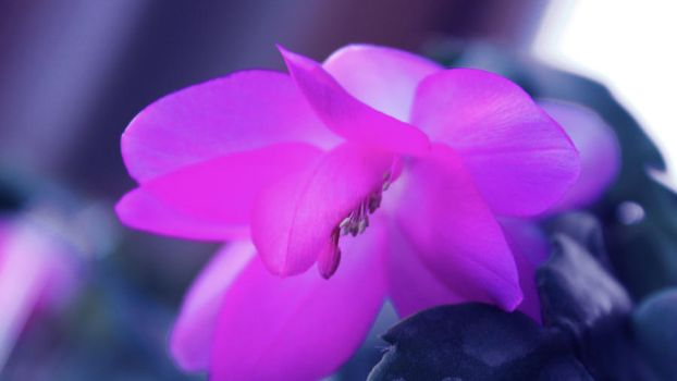 Christmas Cactus 1 by whatifitwaspurple