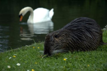 Nutria and the Swan by Ariyenne