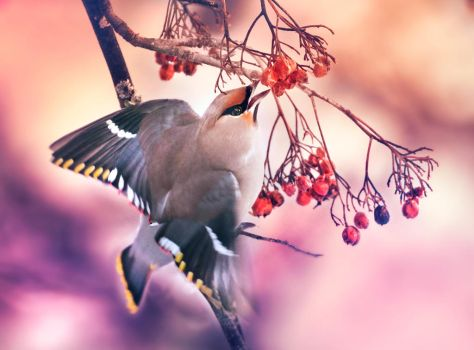 Waxwing eating berries by Thunderi