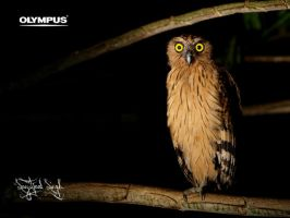 Buffy Fish-owl by jitspics