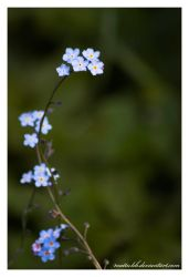 Forget me not by Mattuhh