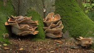 Huge Fungi on the base of a Huge Tree by Danimatie