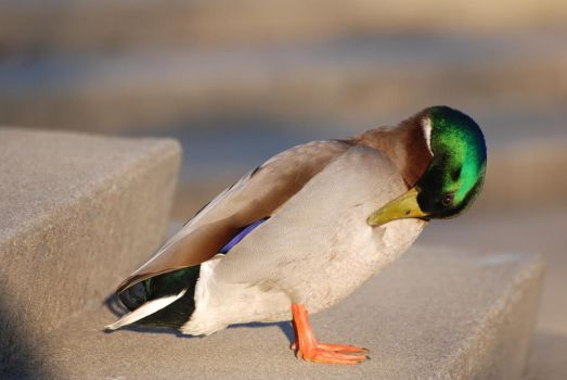 Mallard preening by Clearly1