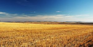 Fields of Gold by SniperOfSiberia