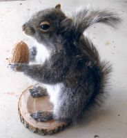 2nd Squirrel mount FOR SALE See desc for info! by Wolven-Hybrid