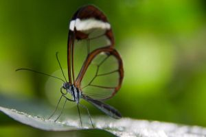 Glasswing by horus40