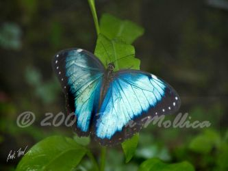 Blue Morpho Resting by SteelCowboy