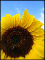 Sunflower by boroka