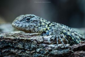 Sceloporus Malachiticus 3 by MCN22