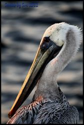 Pelican at Sunset by smilesbysue