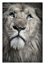 White lion3 by photoflacky