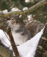 Gray Squirrel by tidesend