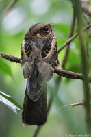 Large-tailed Nightjar by garion