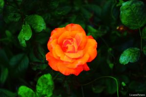 Rose by LicamtaPictures