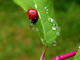 Ladybird doesn't drop the water drop by eco6org