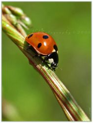 'Coccinella' by Irena-N-Photography