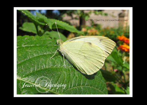 Cabbage White Butterfly by Jmyth
