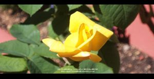 Yellow Rose by Ellysiumn-GvE