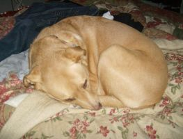 My Dog Curled Up by ChippingChart66