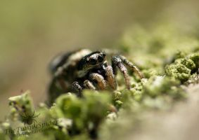 Cute Zebra Jumping Spider - Salticus scenicus by TheFunnySpider