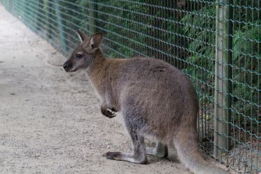 kangaroo by DeathProof7891