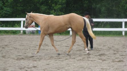 Palomino 001 by vorbei-horse-stock