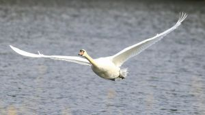 Low flying swan by NurturingNaturesGift