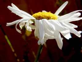 Stock Flower Daisy 1 by Carol-Moore
