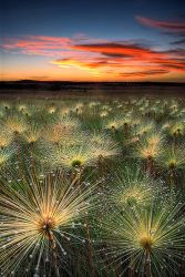 Paepalanthus at sunset by MarcioCabral