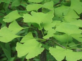 Ginkgo by crazygardener