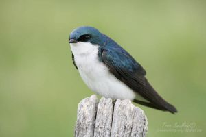 Tree Swallow by Sage28