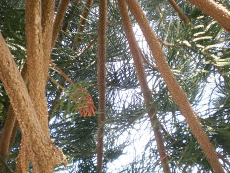 Pine Branches by Mischievous-Car-Bomb