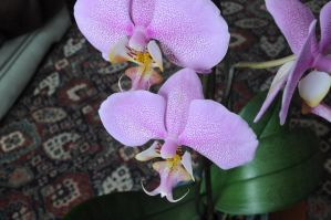 orchid 7 by density-stock