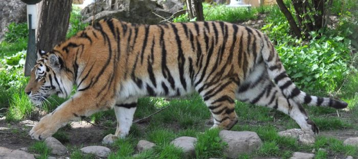 tiger stock 2 by Sikaris-Stock