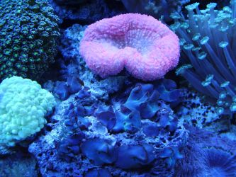 Corals by Pentacle5