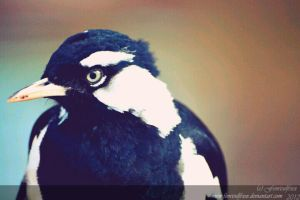 Murray Magpie by Fenrisulfrxx
