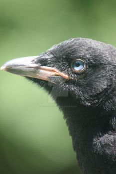Baby Crow by VeronicaRosejones