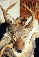 Custom Coyote Taxidermy Headdress by NaturePunk