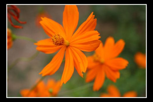 Orange flower by rinaz