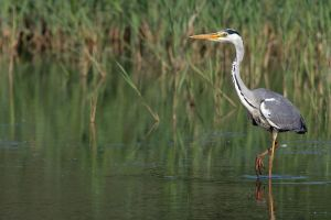 Grey Heron by cycoze